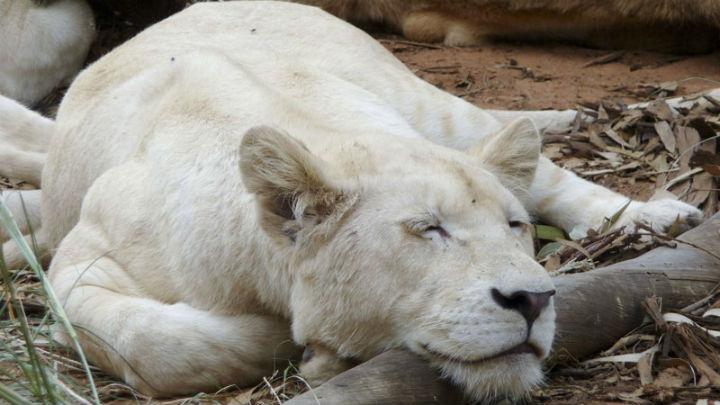 Lionne blanche (c) Virginie Dubreuil