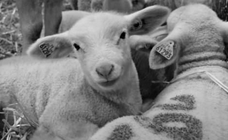 Mouton charmois, la star de l'Agrixmax. Photo (c) Sabrina Belkhiter