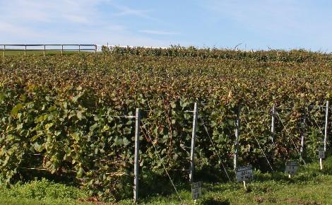 Parcelle de vigne. Photo (c) Francis de la Godet