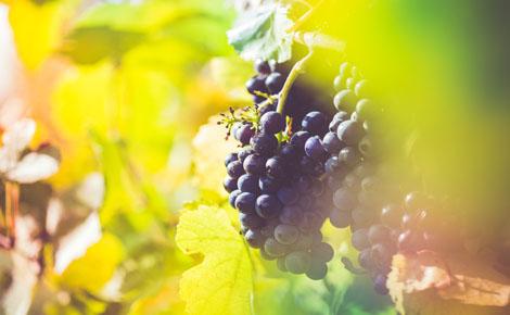 Grappe de raisin rouge. Photo © Picjumbo