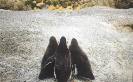 Pingouins Magellans prenant la pose face à l'immensité des paysages patagoniens. Photo (c) Marie-Rachel Aparis