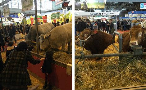 Les visiteurs regardent des vaches au salon de l'agriculture 2016. Photo (c) J.Claude M.