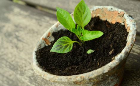 Jeune plant. Image du domaine public