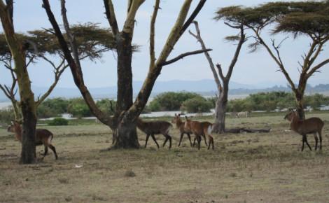 Des animaux dans la réserve de Naivasha, Kenya. Photo (c) Pierre Buingo, septembre 2013