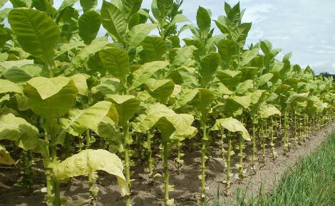 Plantation de tabac. Image du domaine public.