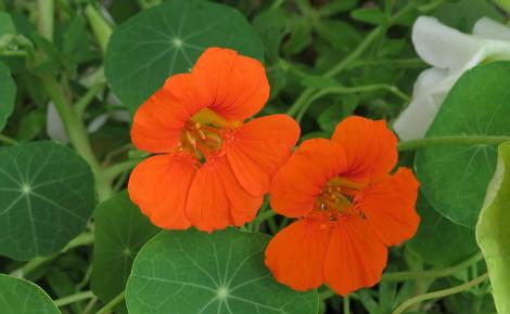 Fleur de capucine. Image du domaine public
