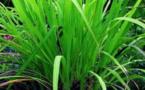 La palmarosa, plante miraculeuse et méconnue