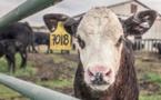 Transport des veaux: un calvaire inacceptable