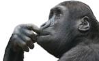 L'homme, un animal évolué sur la planète des singes?