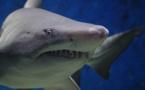 Un requin rouvre les plaies à La Réunion
