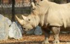 Un rhinocéros tué pour sa corne dans un zoo français