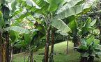 Les forêts sauvées grâce aux bananeraies?