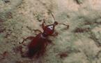 Un charançon rarissime découvert dans les cavernes des glacis du Palais Princier