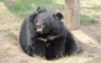 L'ours à la langue géante opéré avec succès