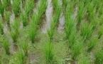 Bénin : pour le meilleur et pour le riz