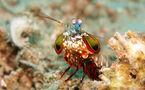 L'IMAGE DU JOUR: Squille multicolore