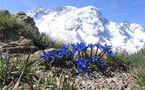 IMAGE DU JOUR: Fleurs de gentiane de printemps