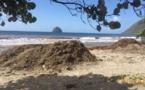 Le retour des sargasses en Martinique