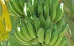IMAGE DU JOUR: Bananier