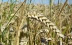 IMAGE DU JOUR: Épi de blé