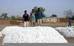 Agriculture / Filière cotonnière: Malgré les vicissitudes, l'or blanc tient debout