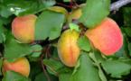 IMAGE DU JOUR: Abricot