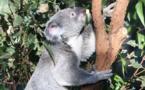 Le sanctuaire pour koalas