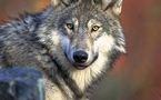 L'IMAGE DU JOUR: Loup