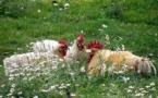 IMAGE DU JOUR: Cercle de poules