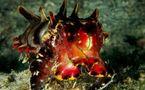 L'IMAGE DU JOUR: Une seiche flamboyante, un poisson d'avril?