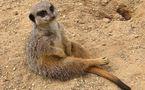 L'IMAGE DU JOUR: Mangouste suricate