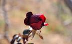 L'IMAGE DU JOUR – La rose du printemps