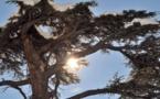 L'IMAGE DU JOUR – Le cèdre du Liban