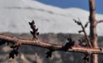 L'IMAGE DU JOUR – Les bourgeons de l'hiver