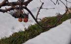L'IMAGE DU JOUR – Les pommes du froid