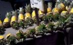 L'IMAGE DU JOUR – Ananas