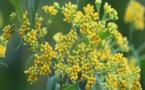 Covid-19 en Guadeloupe : une plante médicinale pour guérir le virus ?
