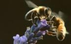 Semaine européenne de l'abeille
