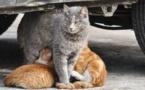 L'IMAGE DU JOUR – Maman chatte allaite et protège