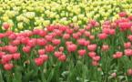 IMAGE DU JOUR: Tulipes
