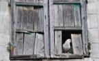 IMAGE DU JOUR – Le pigeon et la fenêtre