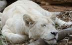 IMAGE DU JOUR: Lionne blanche