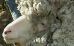 La vidéo du jour: Un mouton errant retrouvé avec une toise de laine record