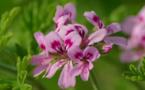 Des plantes contre l'acné