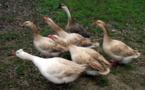 Épidémie de grippe aviaire dans le sud-ouest de la France