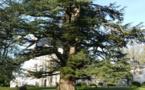 Le cèdre du Liban du château de Selles-sur-Cher