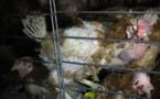 SOS poules en détresse