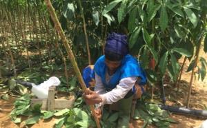 Une greffeuse en activité à Bongo en Côte d'Ivoire (c) Laurence Marianne-Melgard