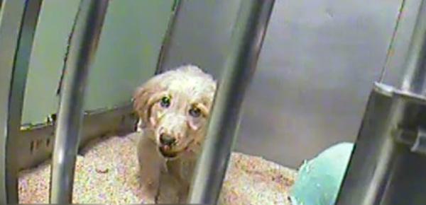 Onde de choc: des expériences animales cruelles financées par le Téléthon