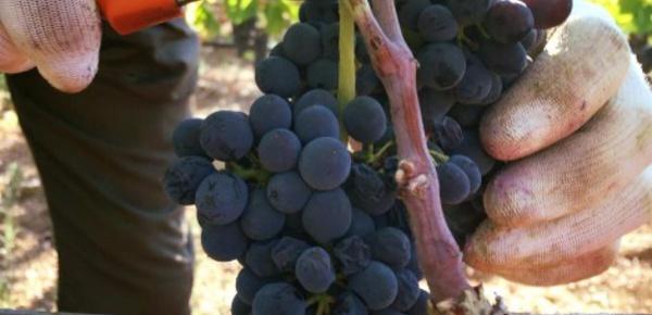 Récolte du raisin anticipée: l'Italie souffre de la sécheresse